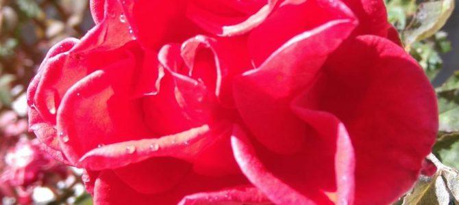 Róża jest  najpiękniejszym kwiatem którego znam ,,Powiedz jakich trzeba użyć słów by wyrazić jej piękno i tajemnice.