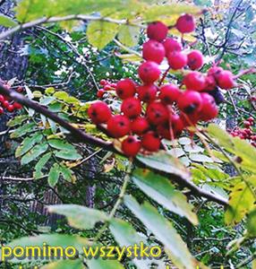 Jarzębina – perła jesieni